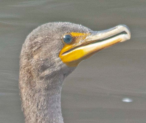 Double Crested Cormorant 2019-11