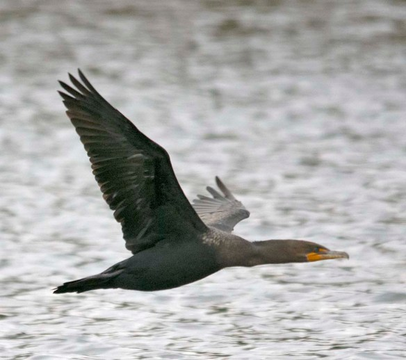 Double Crested Cormorant 2019-2