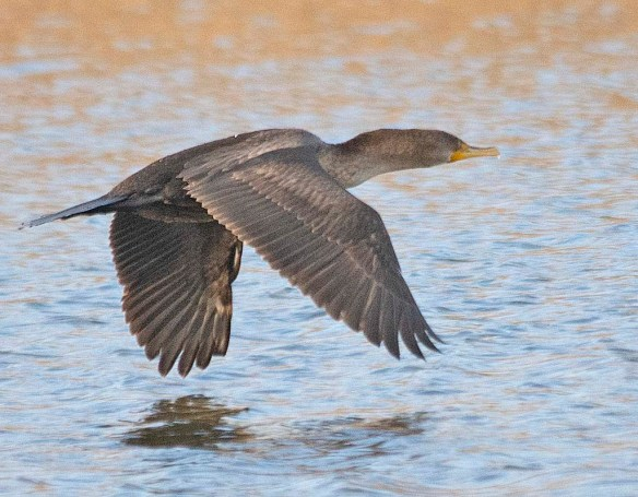 Double Crested Cormorant 2019-6