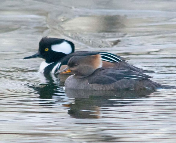 Hooded Merganser 2019-20