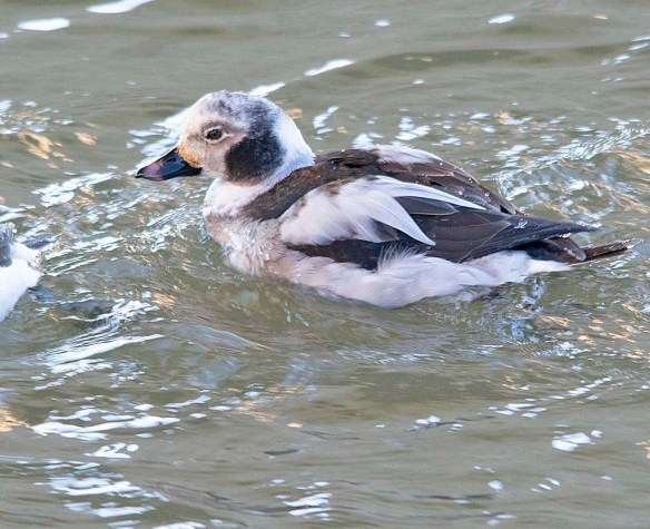 Long Tailed Duck 2019-13