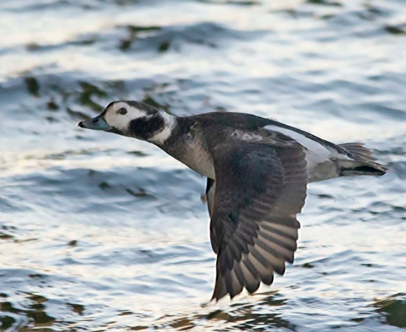 Long Tailed Duck 2019-21