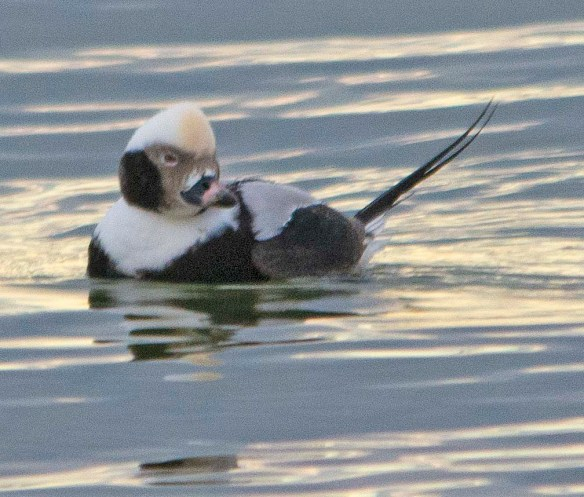 Long Tailed Duck 2019-5