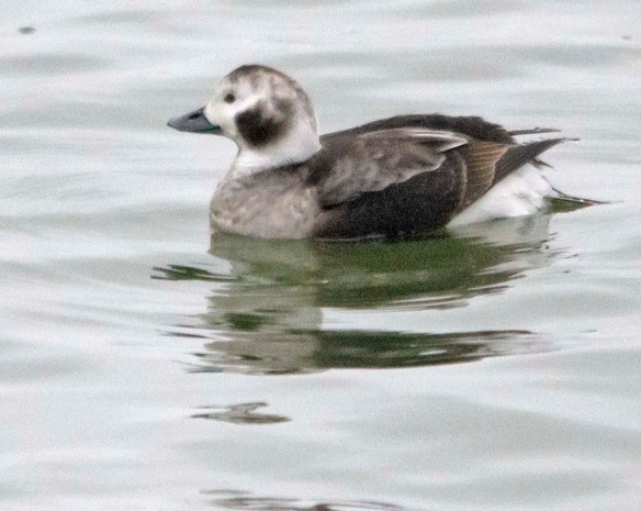 Long Tailed Duck 2019-8