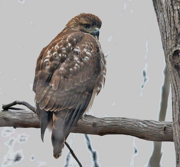 Red Tailed Hawk 2019-1