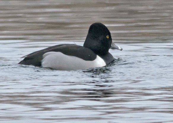 Ring Necked Duck 2019-1