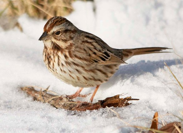 Song Sparrow 2019-2