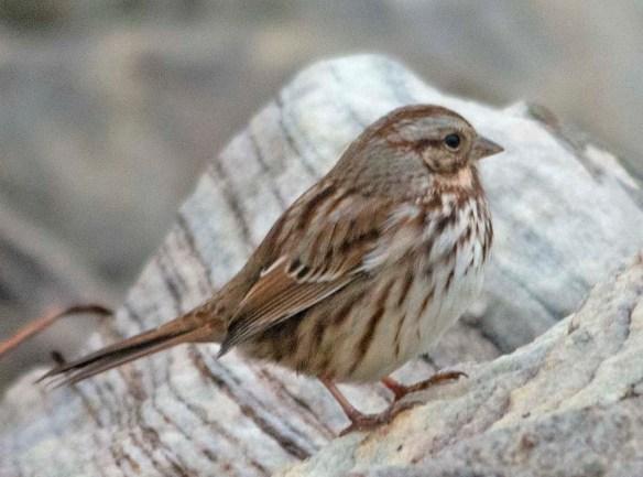 Song Sparrow 2019-3