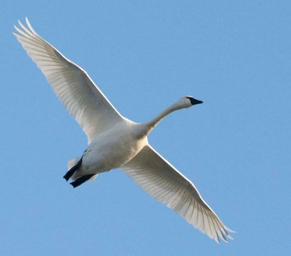 Tundra Swan 2019-18