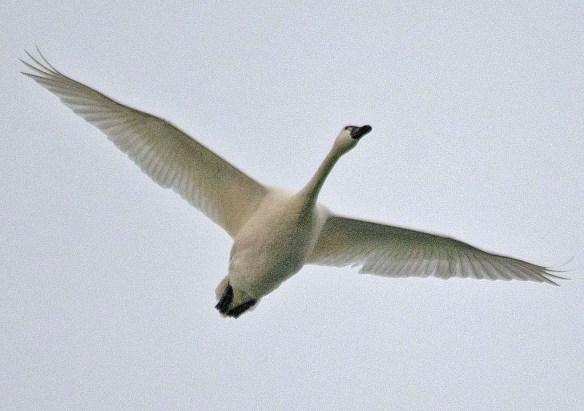 Tundra Swan 2019-3