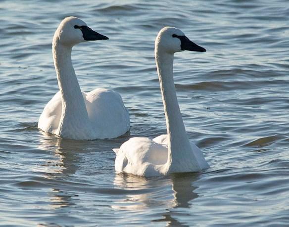 Tundra Swan 2019-4