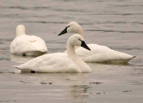 Tundra Swan 2019-9