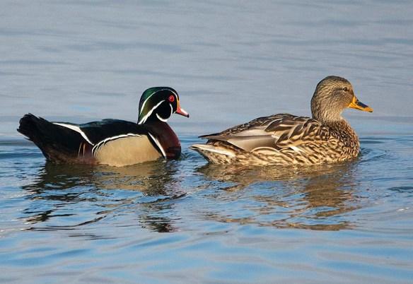 Wood Duck 2019-5