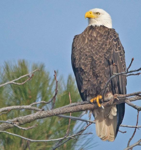 Bald Eagle 2019-8