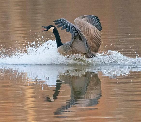 Canada Goose 2019-11