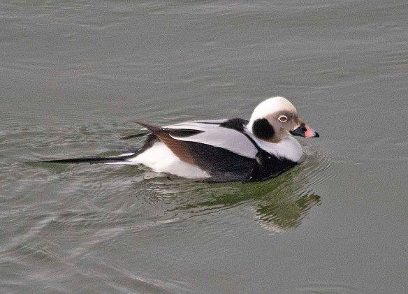 Long Tailed Duck 2019-24