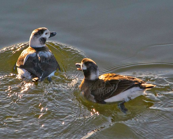 Long Tailed Duck 2019-35