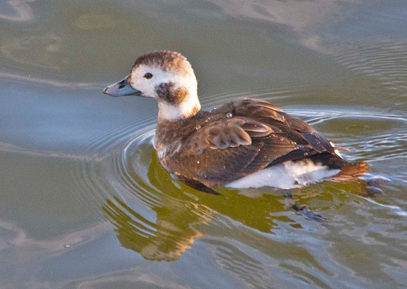 Long Tailed Duck 2019-36
