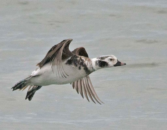 Long Tailed Duck 2019-39