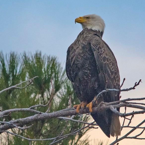 Bald Eagle 2019-11