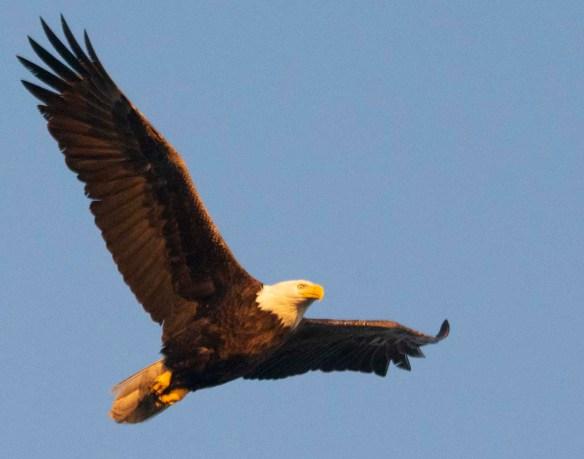 Bald Eagle 2019-13