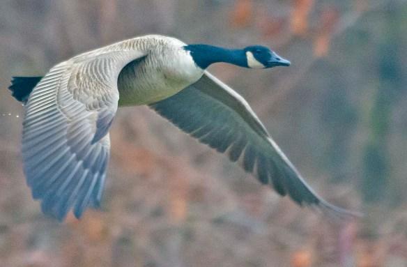 Canada Goose 2019-15