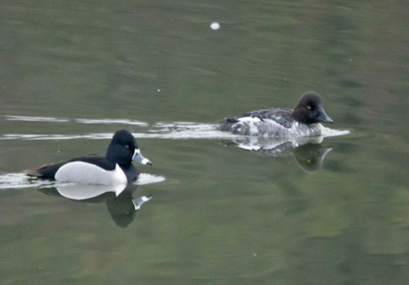 Common Goldeneye 2019-19
