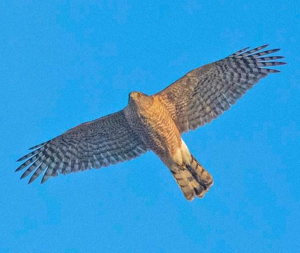 Cooper's Hawk 2019-2