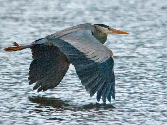 Great Blue Heron 2019-20