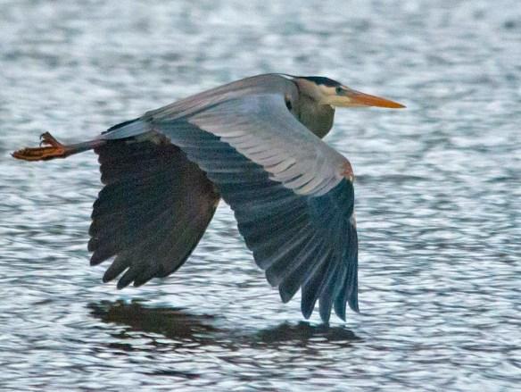 Great Blue Heron 2019-20