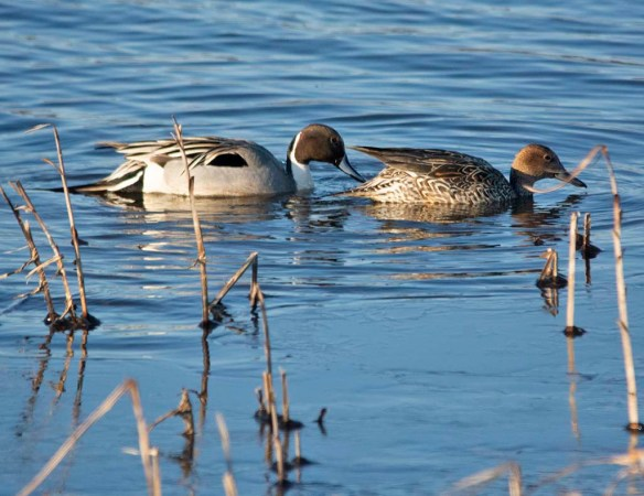 Northern Pintail 2019-4
