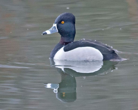 Ring Necked Duck 2019-7