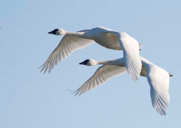Tundra Swan 2019-29