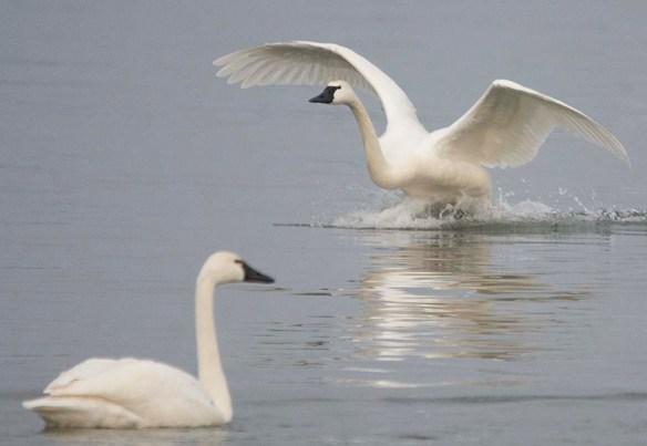 Tundra Swan 2019-31