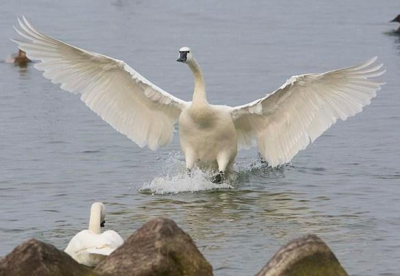 Tundra Swan 2019-33