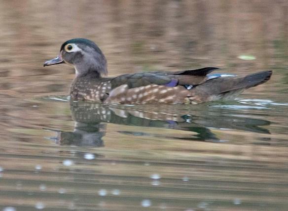 Wood Duck 2019-36