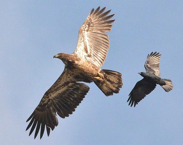 Bald Eagle 2019-14