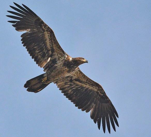 Bald Eagle 2019-15