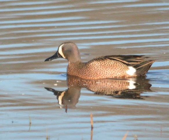 Blue Winged Teal 2019-4