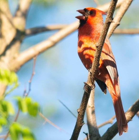Cardinal 2019-3