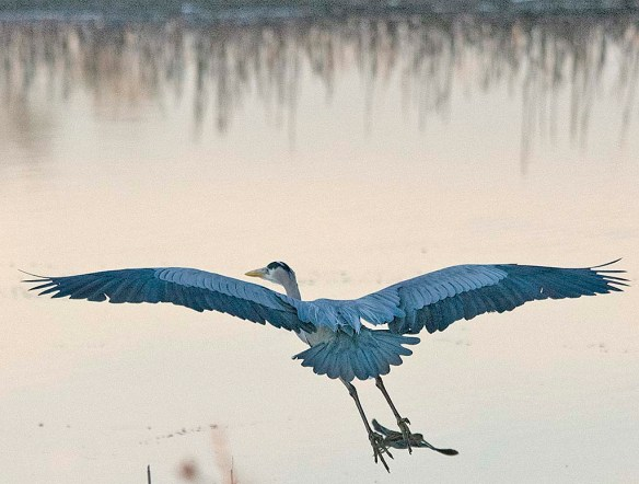 Great Blue Heron 2019-24