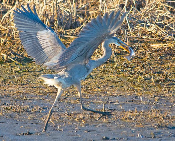 Great Blue Heron 2019-25