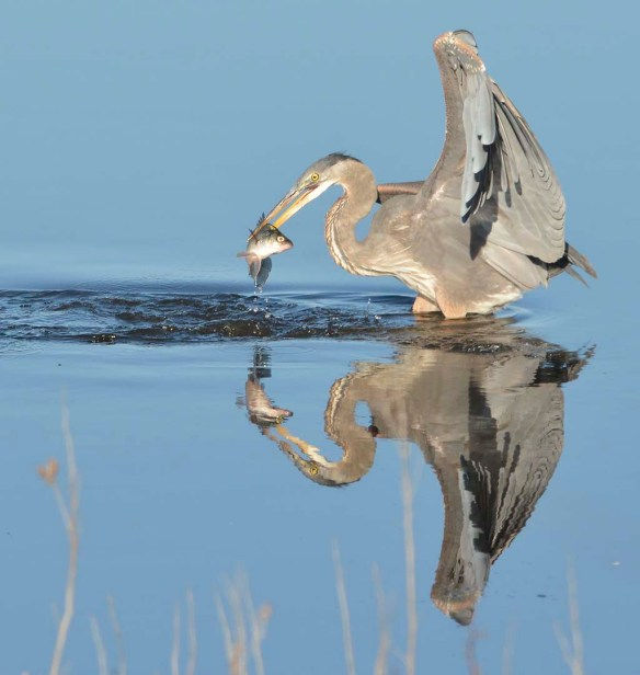 Great Blue Heron 2019-31