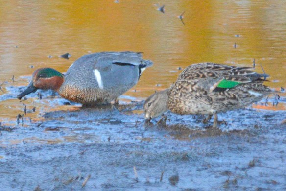 Green Winged Teal 2019-5