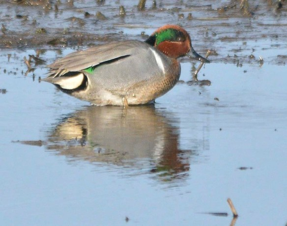 Green Winged Teal 2019-7