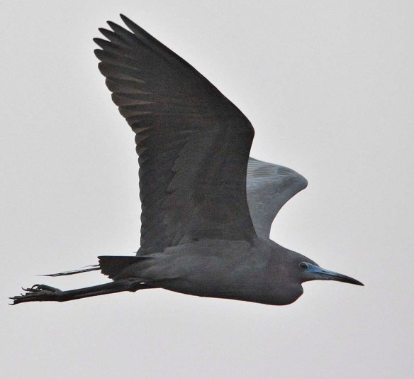 Little Blue Heron 2019-2