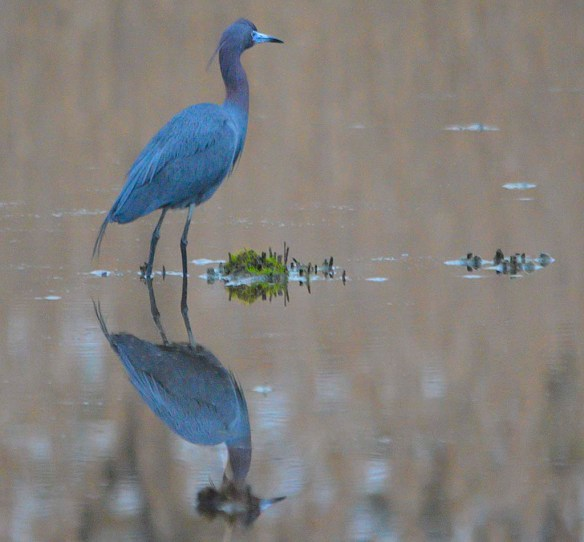 Little Blue Heron 2019-3
