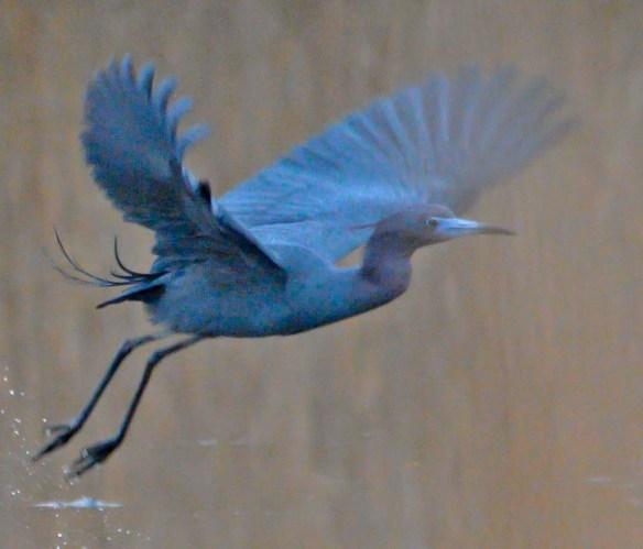Little Blue Heron 2019-5