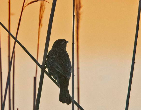 Red Winged Blackbird 2019-1