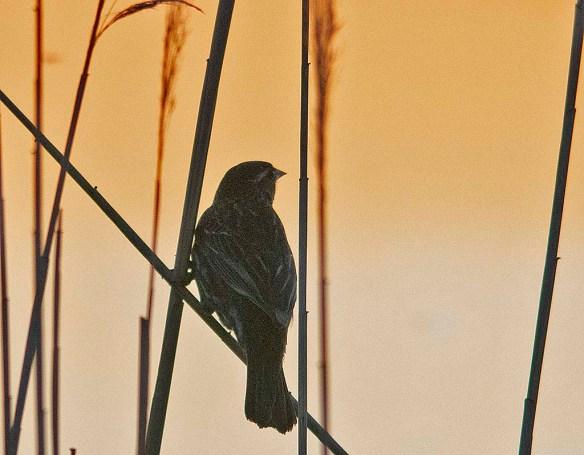 Red Winged Blackbird 2019-1